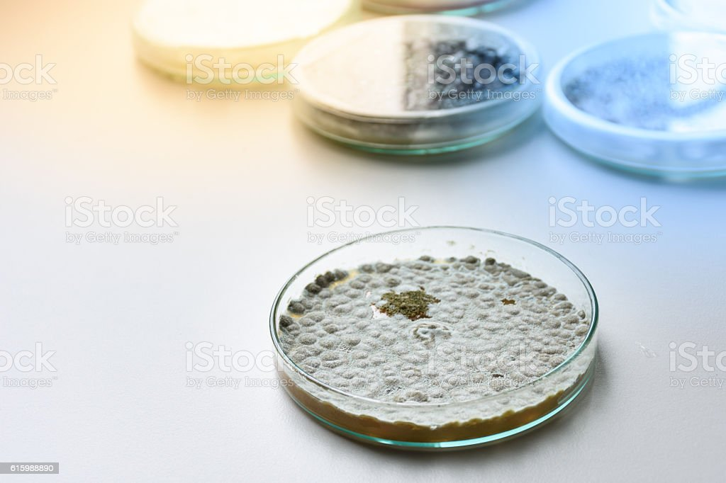 Colonies of allergenic fungus Penicillium from air spores stock photo