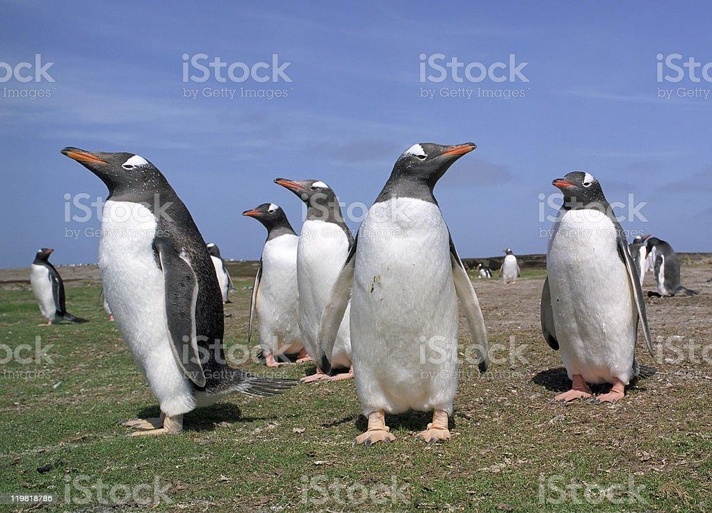Colony gentoo penguins royalty-free stock photo
