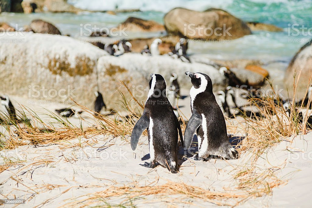 Colony of african penguins (Boulder Beach, Simons Town, South Africa) stock photo