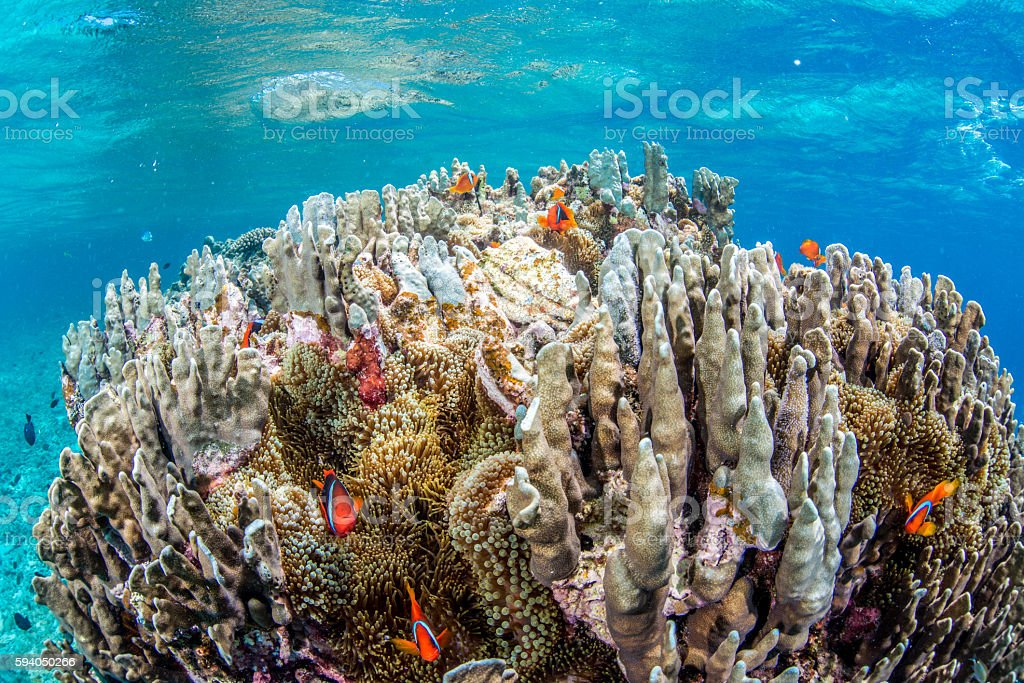 Colony of Anemonefish foto de stock royalty-free