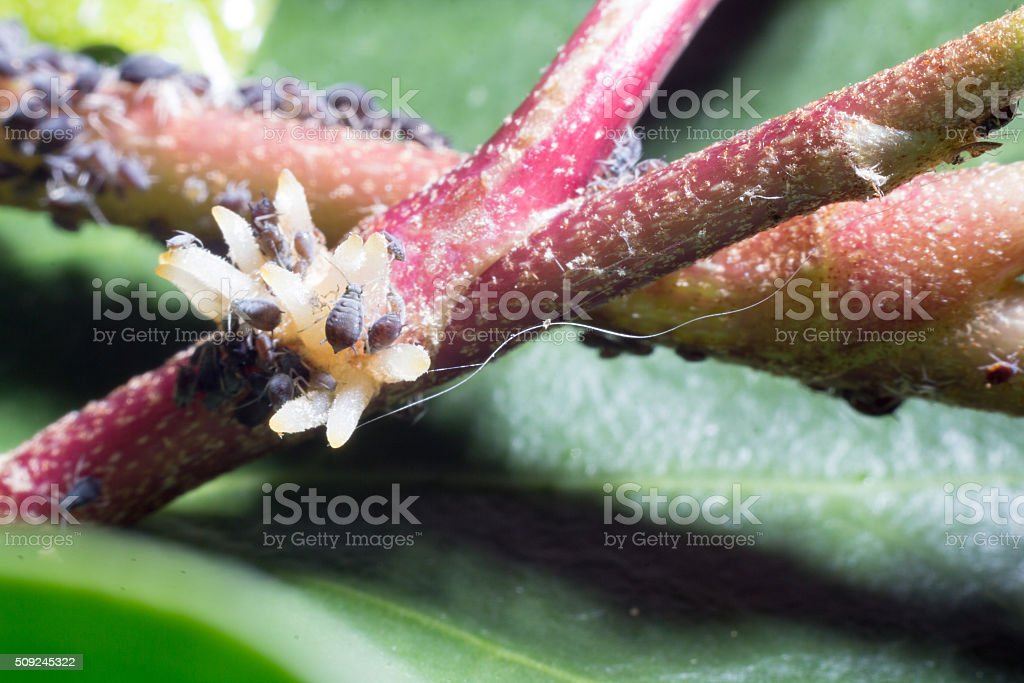 colony of aphids on an ivy stock photo