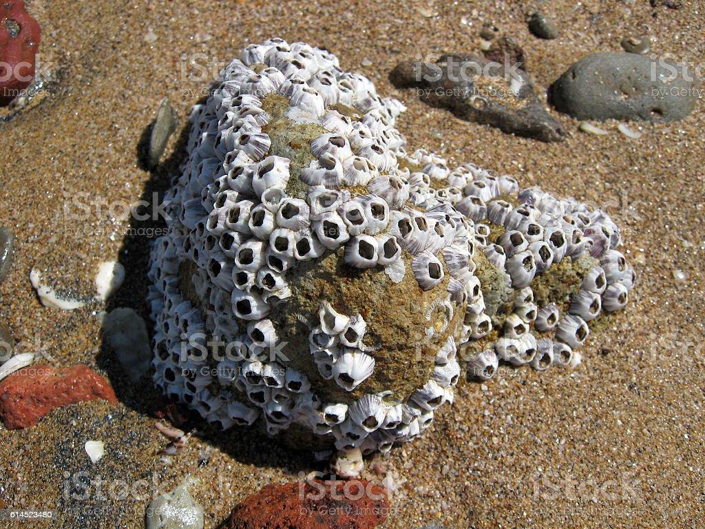 Colony of barnacles on a seashore stock photo