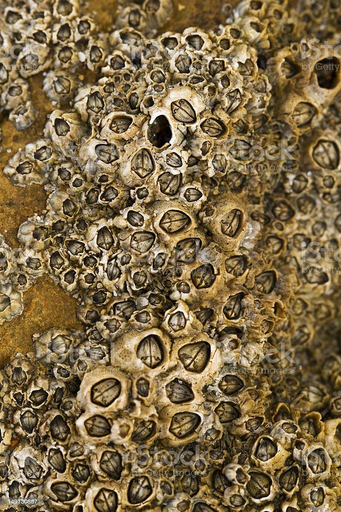 colony of barnacles stock photo