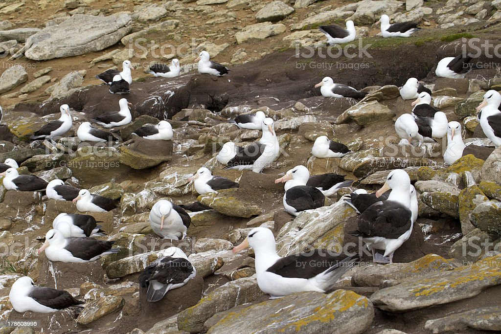 Colony of Black-browed Albatross royalty-free stock photo