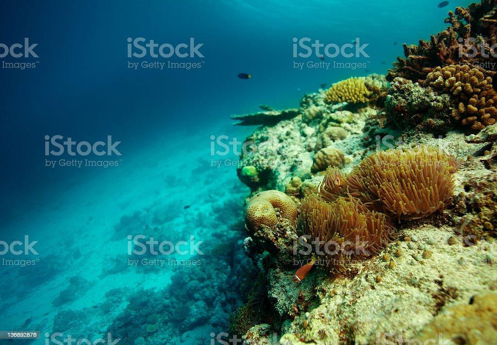 Colony of clownfish royalty-free stock photo