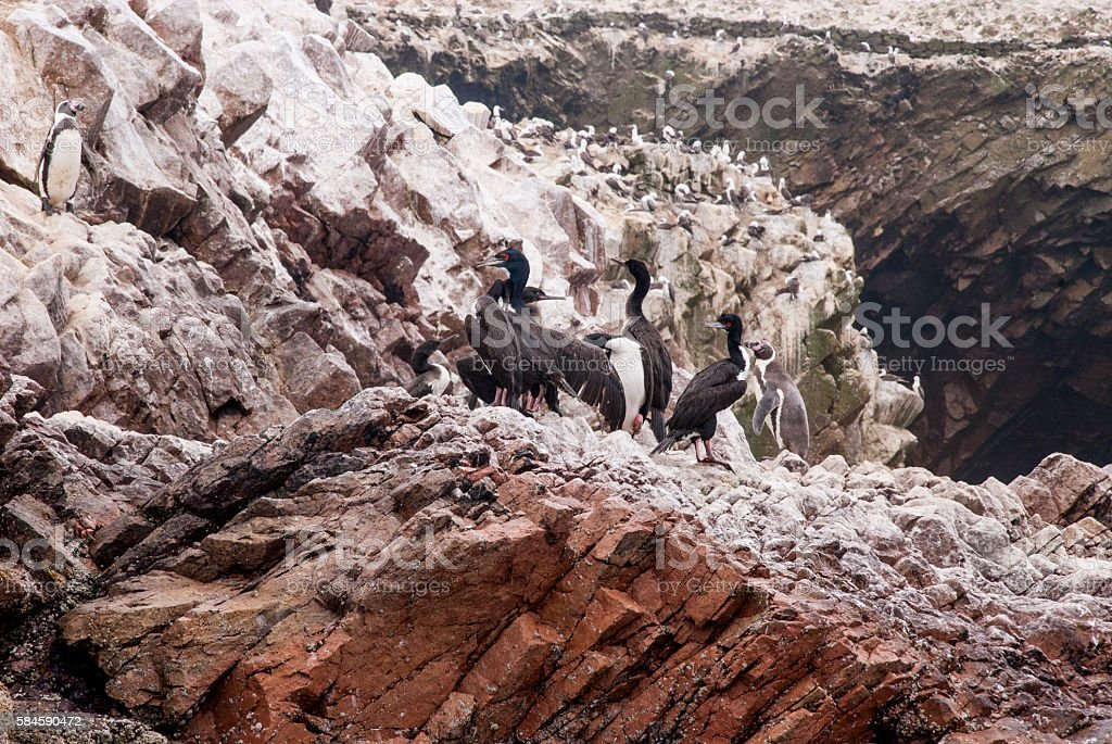Colony Of Cormorants - Ballestas Islands Nature Reserve - Peru stock photo