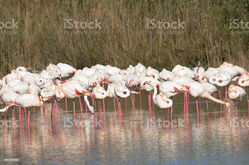 colony of flamingos on marsh, Camargue, France royalty-free stock photo