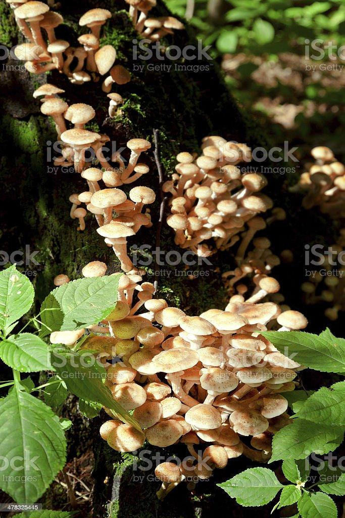 colony of fungi on tree stump royalty-free stock photo