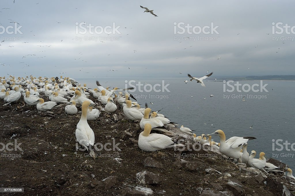 Colony of gannets on Bass Rock stock photo