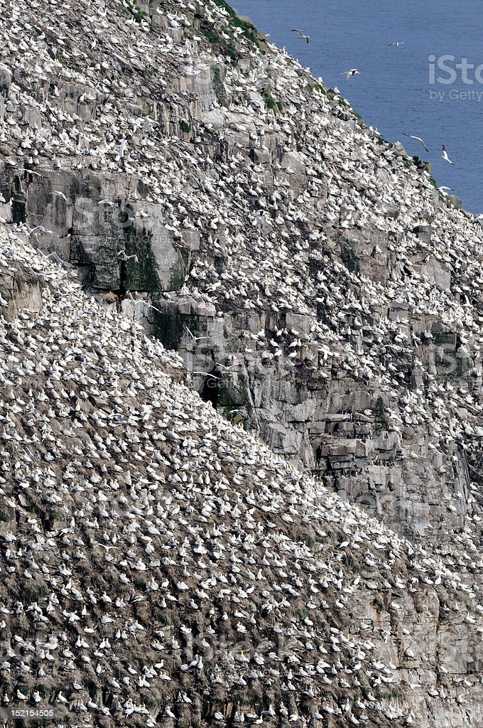 Colony of Gannets stock photo