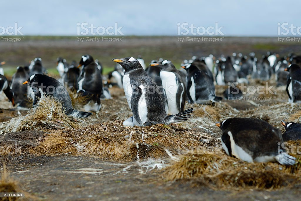 Colony of Gentoo penguins at Volunteer Point, Falkland Islands stock photo