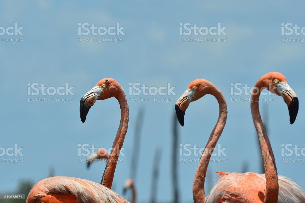Colony of Great Flamingos. stock photo