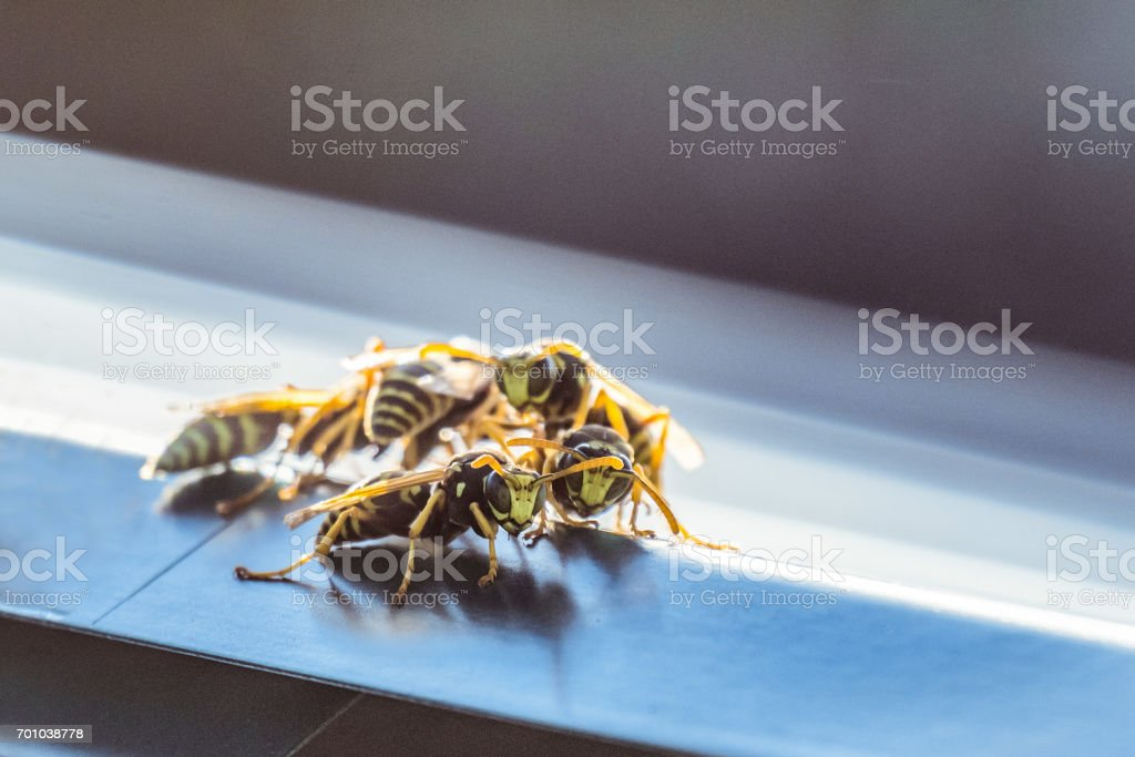 Colony of hornets on the window tint. Background with limited depth of field. stock photo