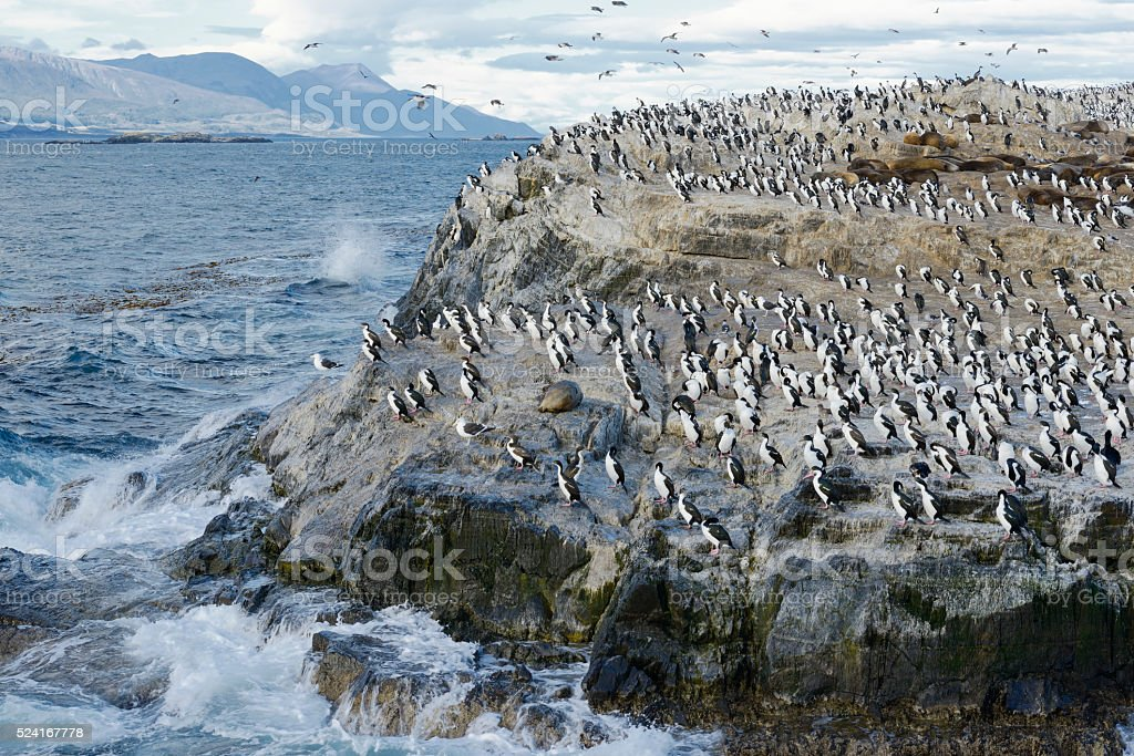 Colony of King Cormorants and Sea Lions, Beagle Channel stock photo