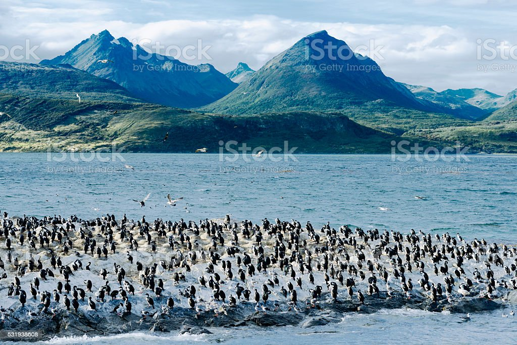 Colony of King Cormorants, Beagle Channel stock photo