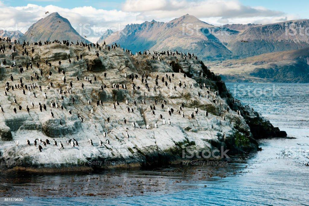 Colony of King Cormorants on a small island, Beagle Channel, Tierra Del Fuego, Argentina stock photo