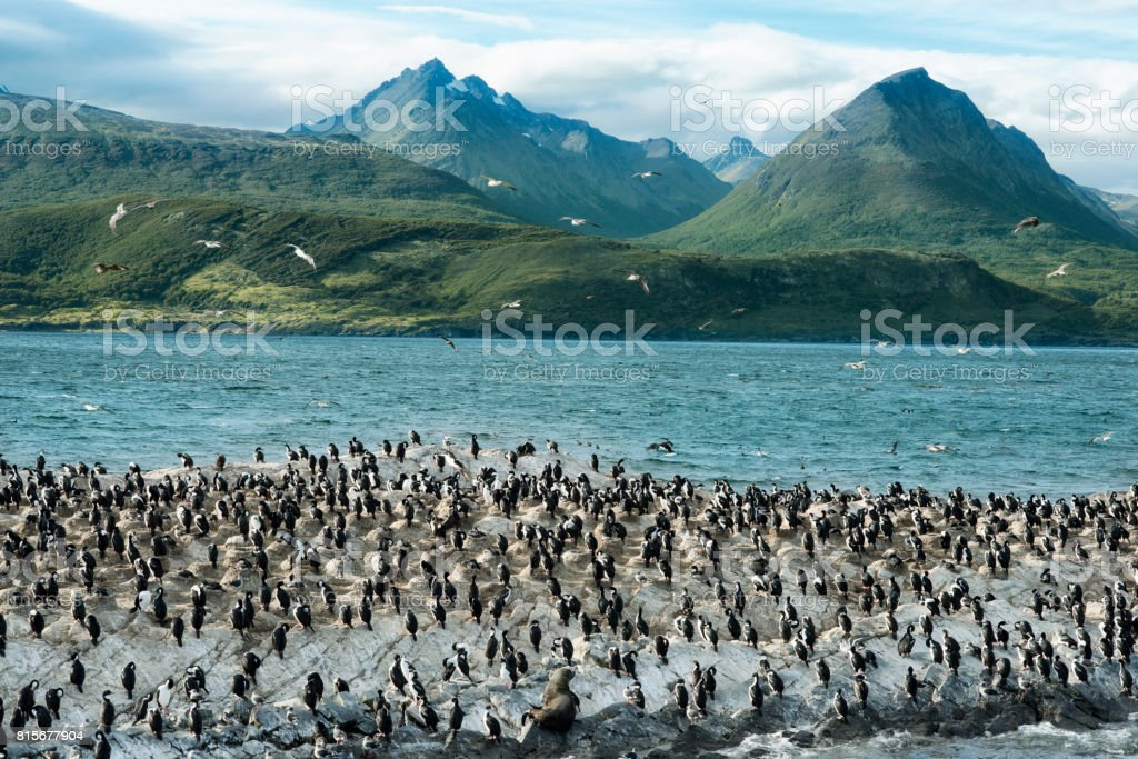 Colony of King Cormorants On Ilha Dos Passaros Located on the Beagle Channel, Tierra Del Fuego, Argentina stock photo