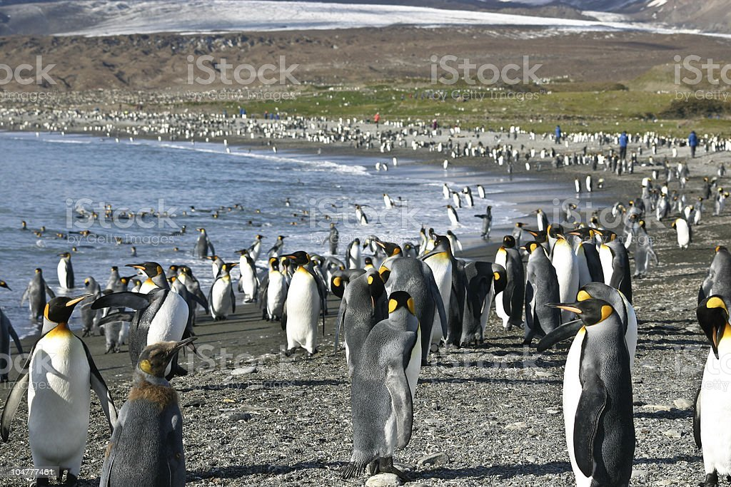Colony of King Penguin in South Georgia stock photo