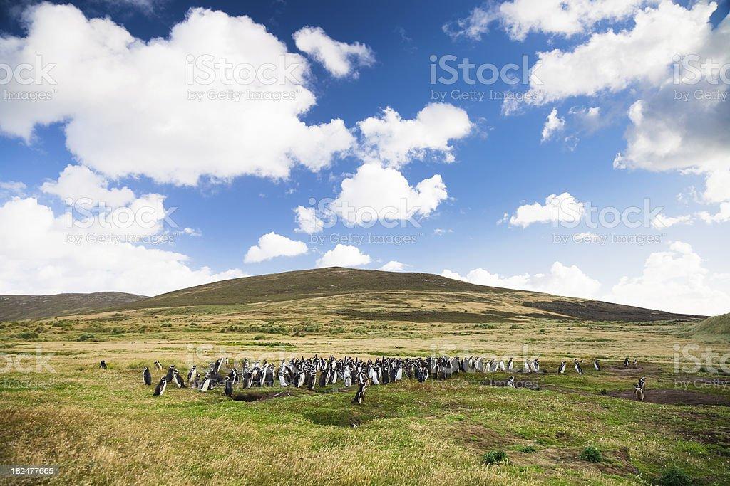 Colony of Megallanic Penguins on Falkland Island royalty-free stock photo