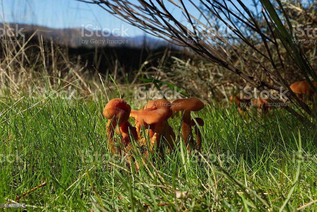 Colony of Mushrooms Laccaria Laccata -  Colonia de Setas  Laccaria stock photo