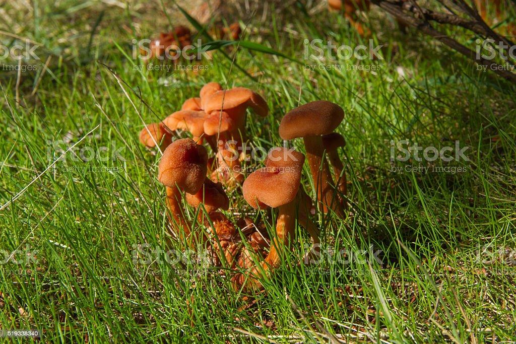Colony of Mushrooms Laccaria Laccata stock photo