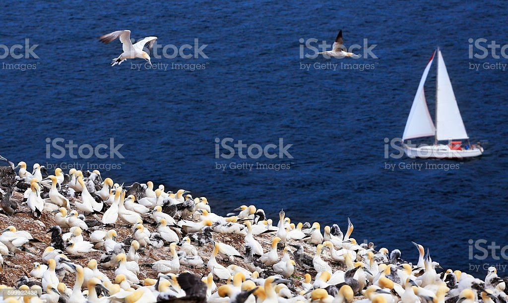 Colony of Northern Gannets and yacht sailing, Bonaventure Island stock photo