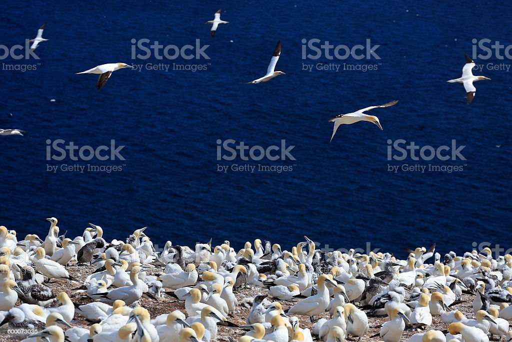 Colony of Northern Gannets, Bonaventure Island Quebec, Canada stock photo