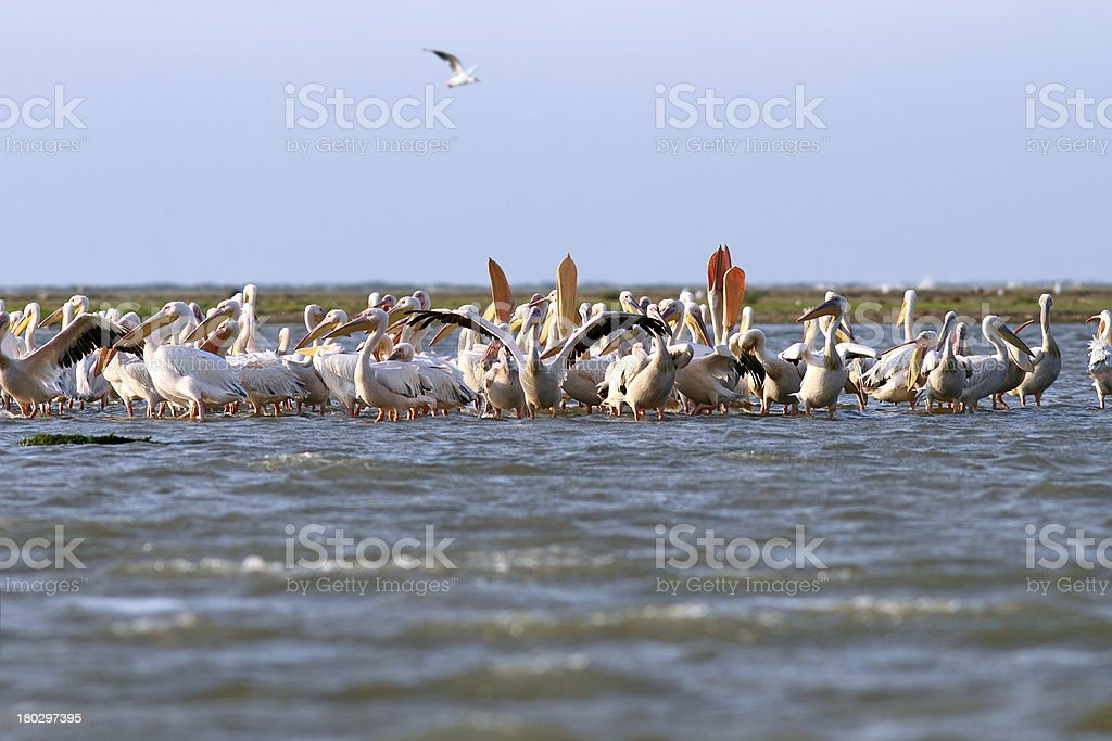 colony of pelicans royalty-free stock photo