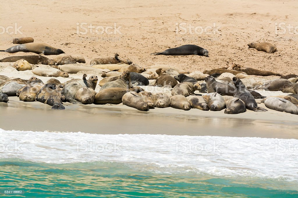 Colony of seal lions stock photo
