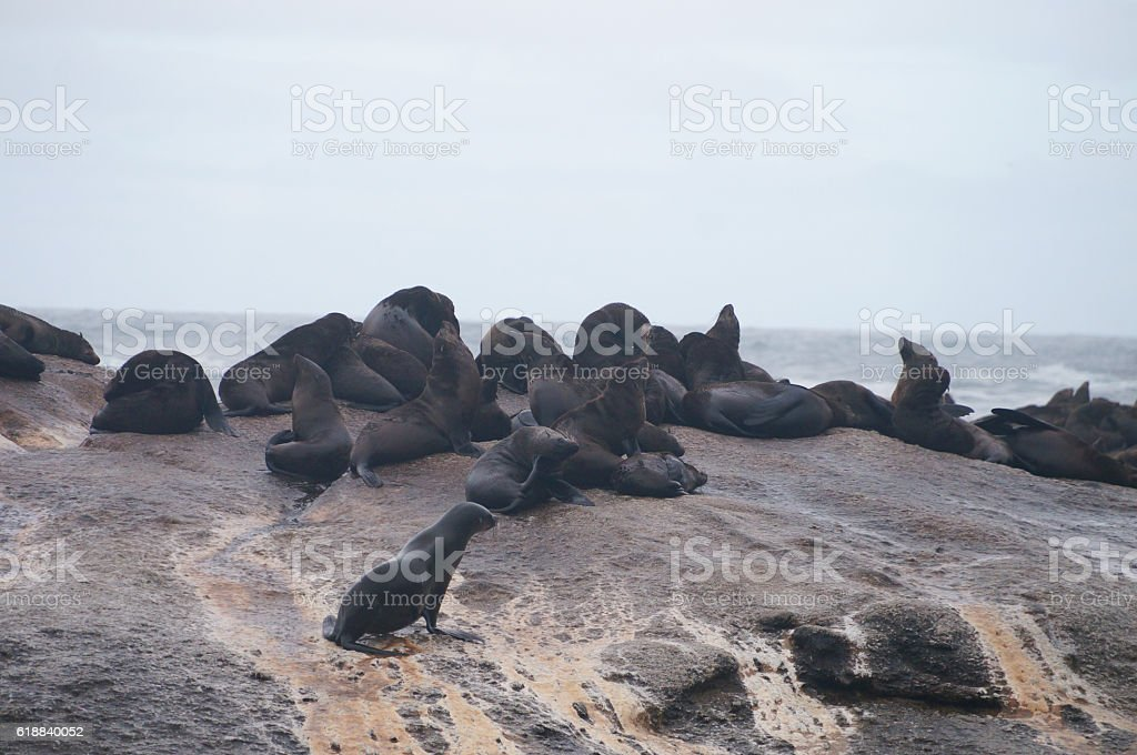 Colony of seals on Duiker Island , South Africa stock photo