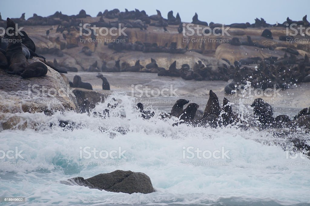 Colony of seals on Seal Island, South Africa stock photo