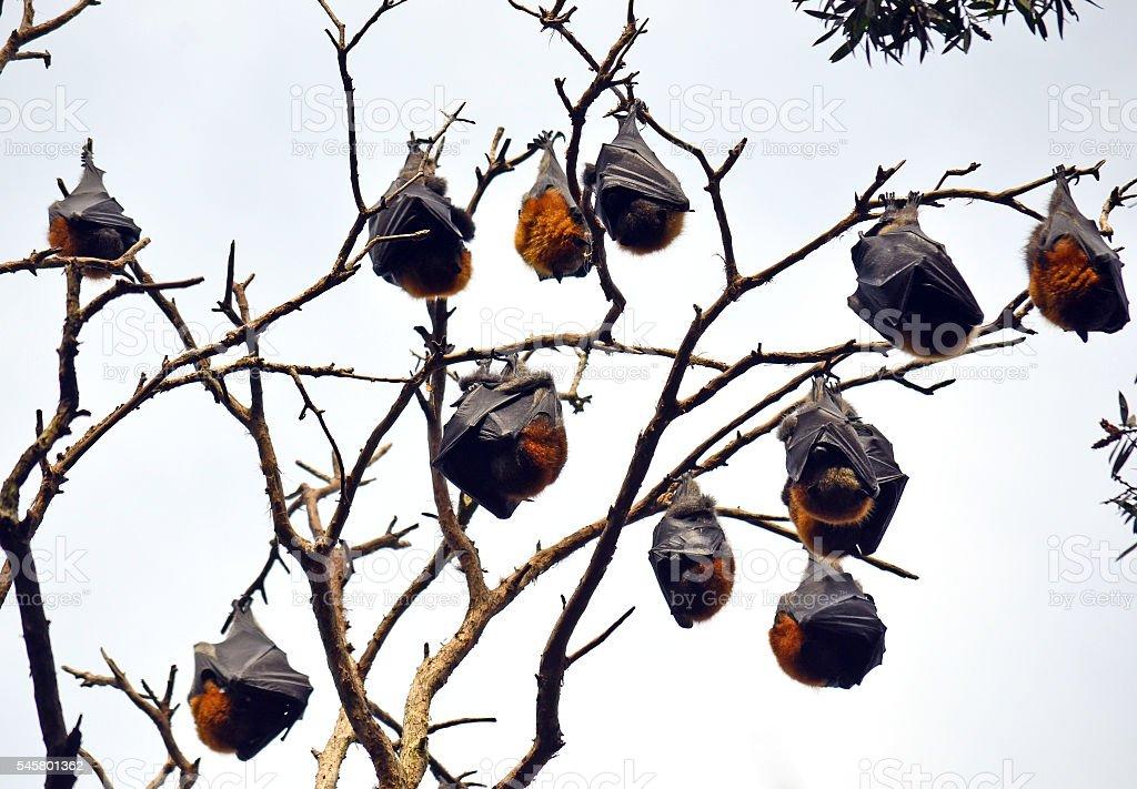 Colony of sleeping grey headed flying foxes stock photo