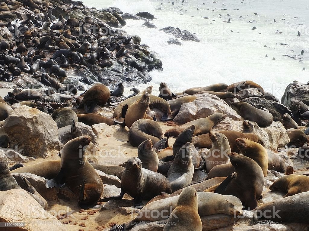 Colony of South African fur seals royalty-free stock photo