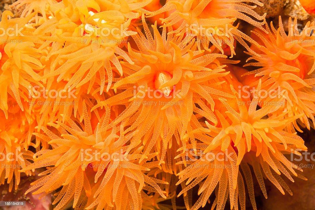 Colony of Sun Corals Tubastraea faulkneri, Lembeh Strait, Indonesia royalty-free stock photo