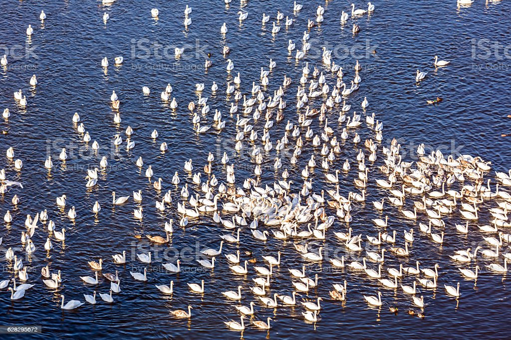 Colony with swans stock photo