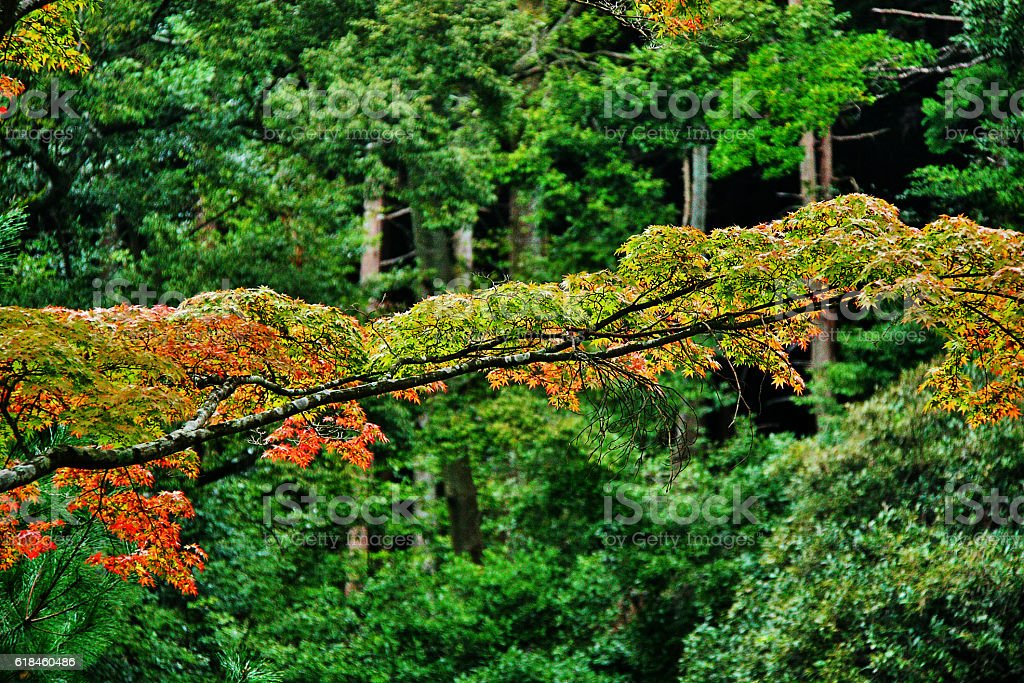 Color changing of Maple leaves in the garden of Kinkaku-ji, Kyoto stock photo