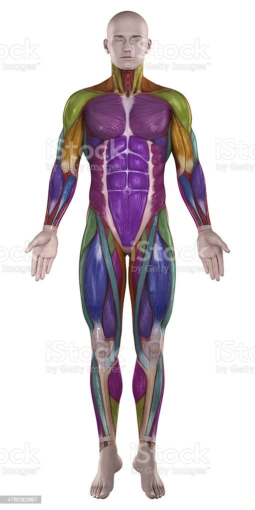 Color highlighted musles anterior view stock photo