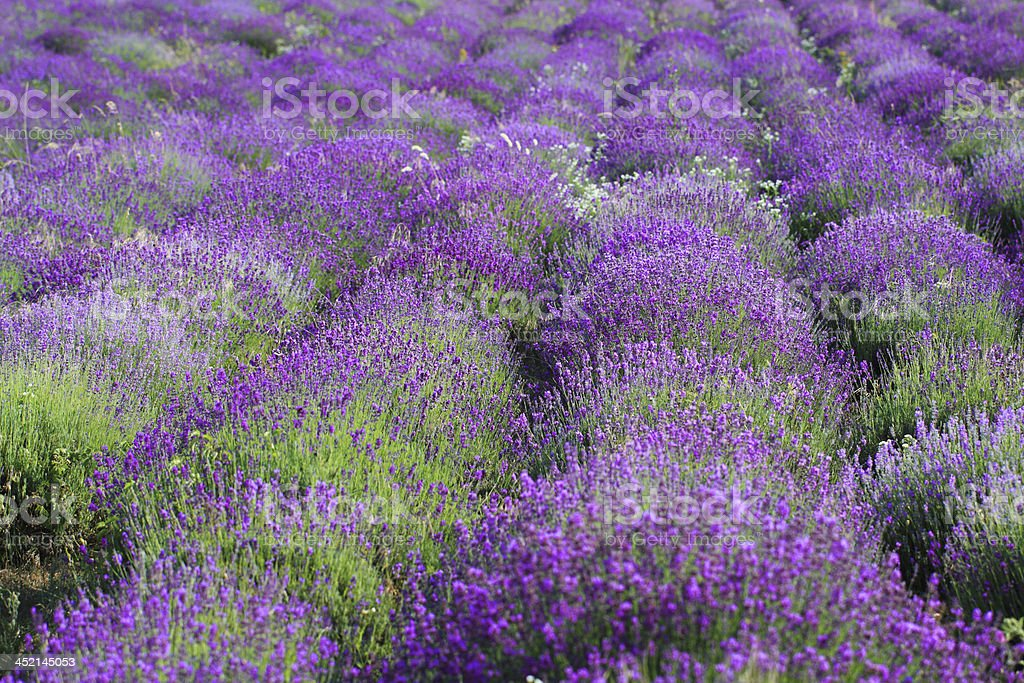 color lavender field royalty-free stock photo