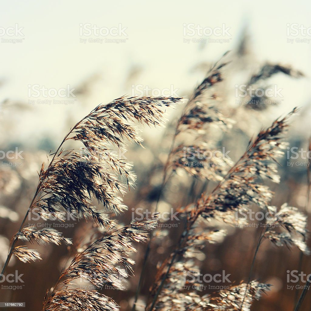 color manipulation at Reed (Grass Family) royalty-free stock photo