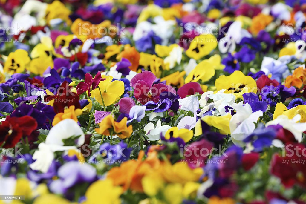color pansy stock photo