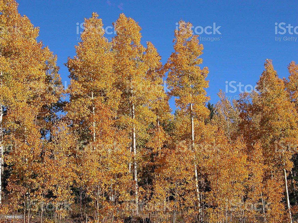 Colorado Aspen Trees in the Fall royalty-free stock photo