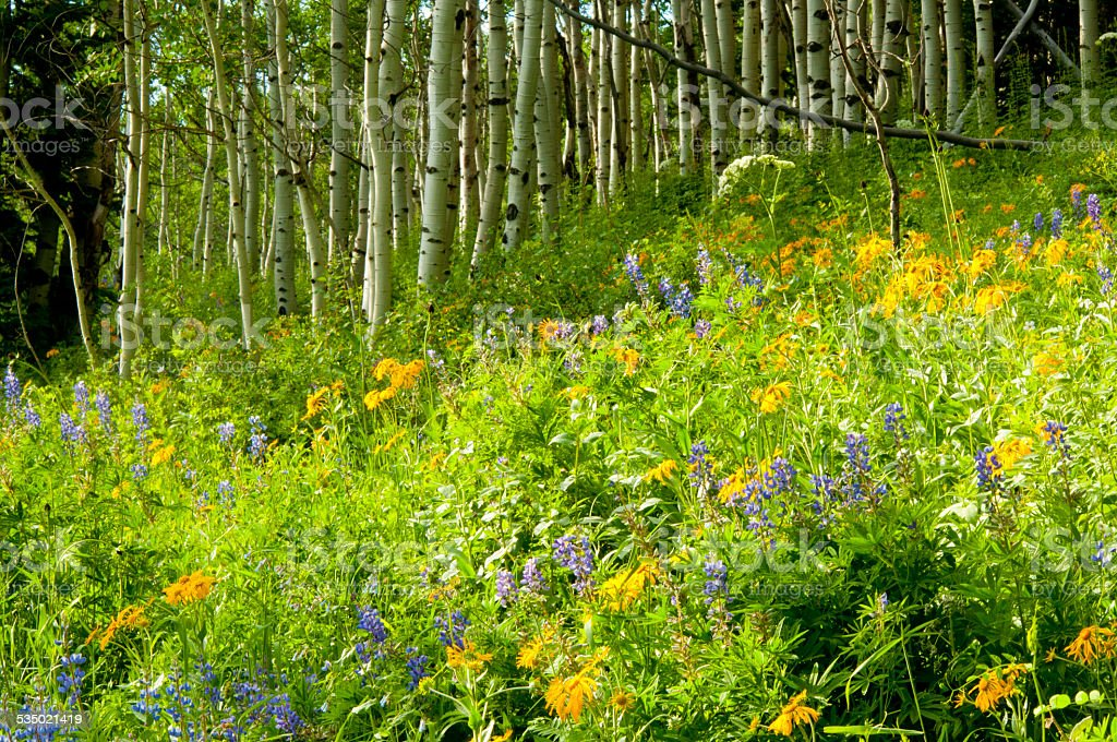 Colorado Aspens and wildflowers in spring. stock photo