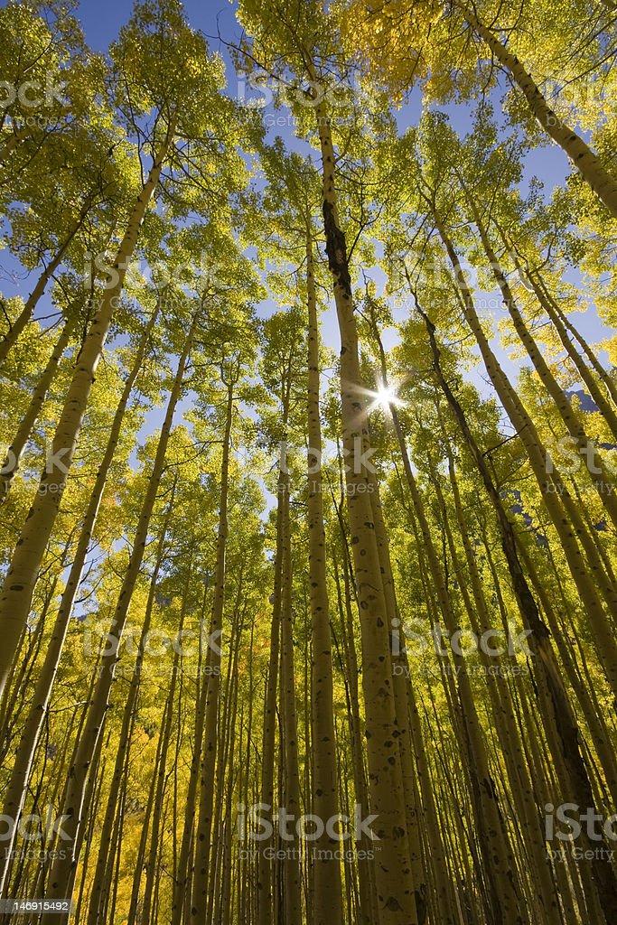 Colorado Aspens royalty-free stock photo