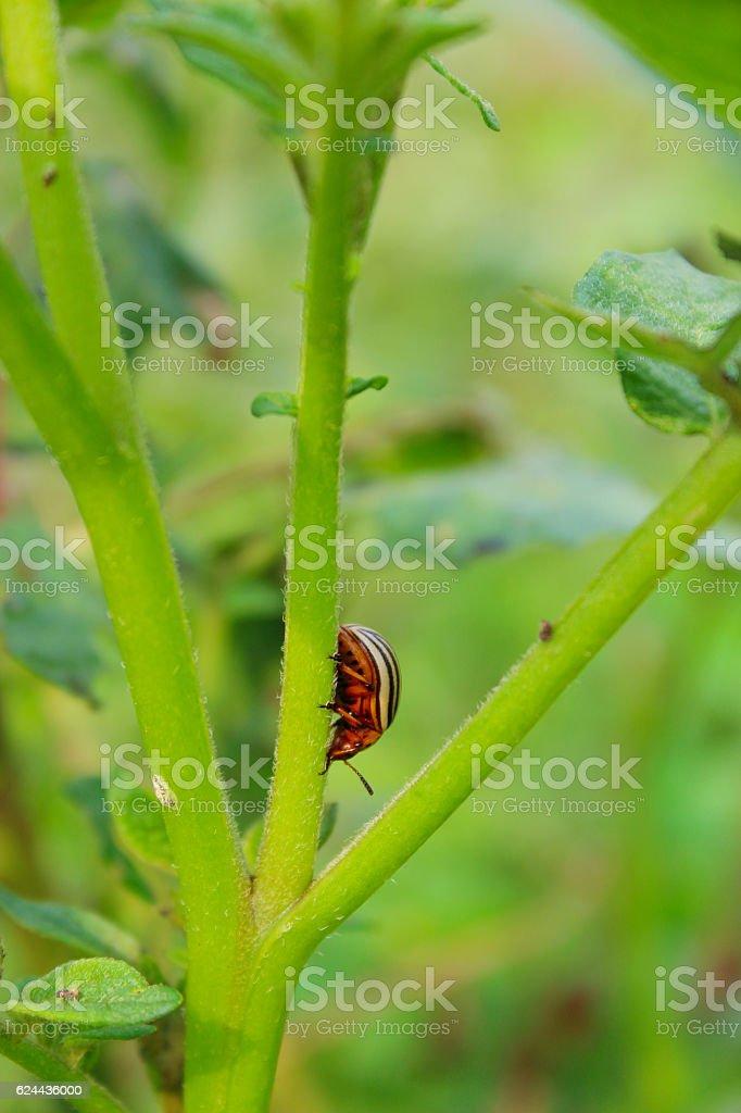colorado beetle climbs on the stalk of potato stock photo