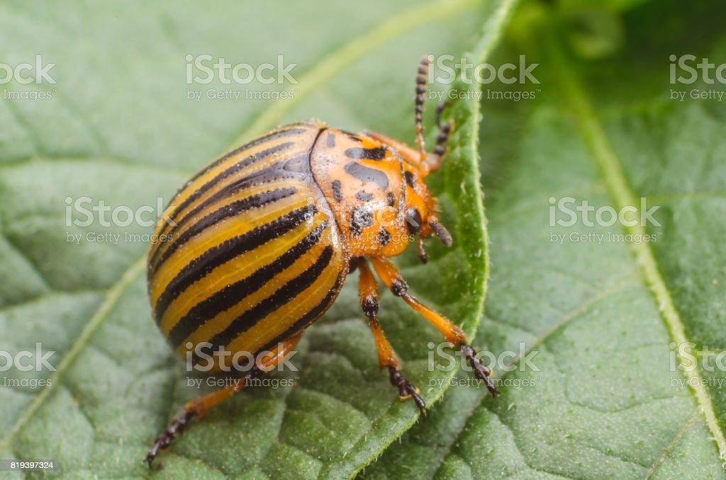 Colorado beetle crawls over potato leaves stock photo