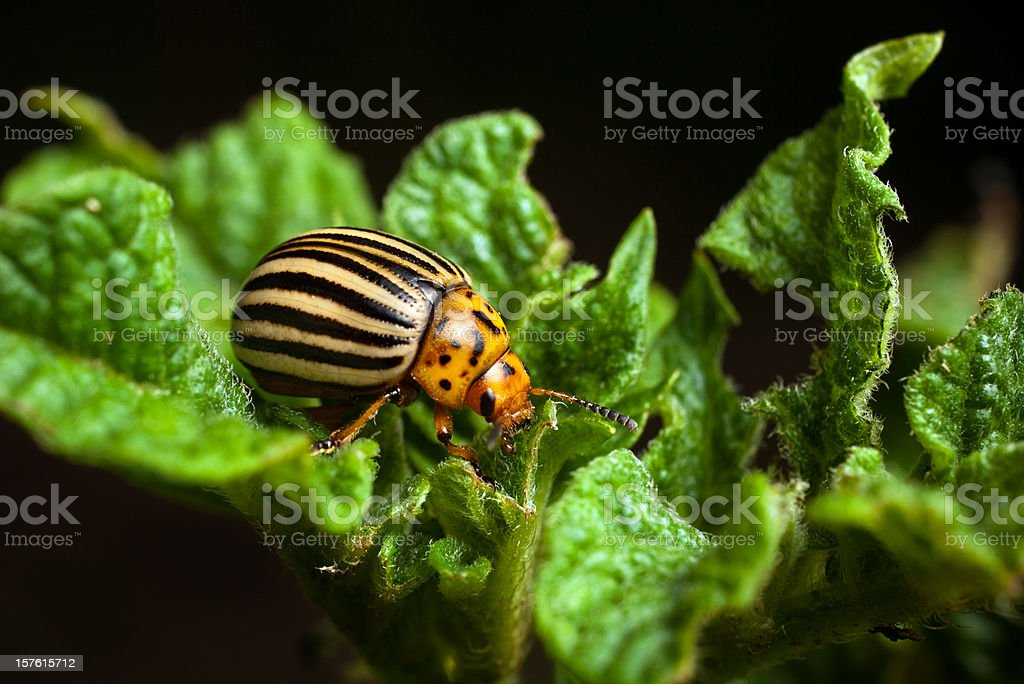 A Colorado beetle eating potato leaves stock photo