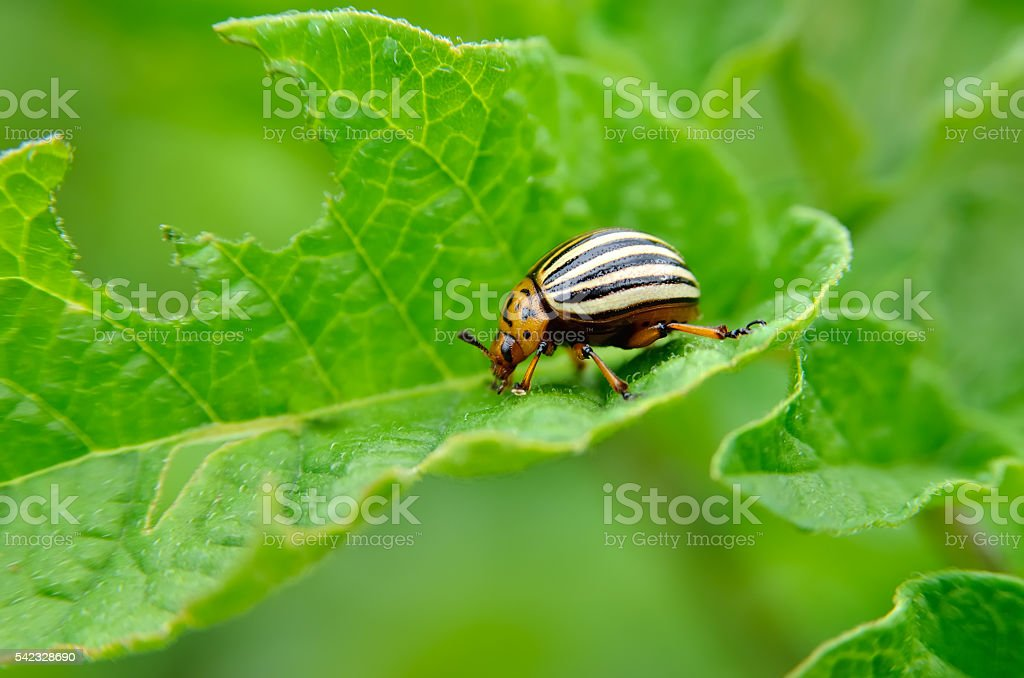 Colorado beetle eats a potato leaves young. stock photo