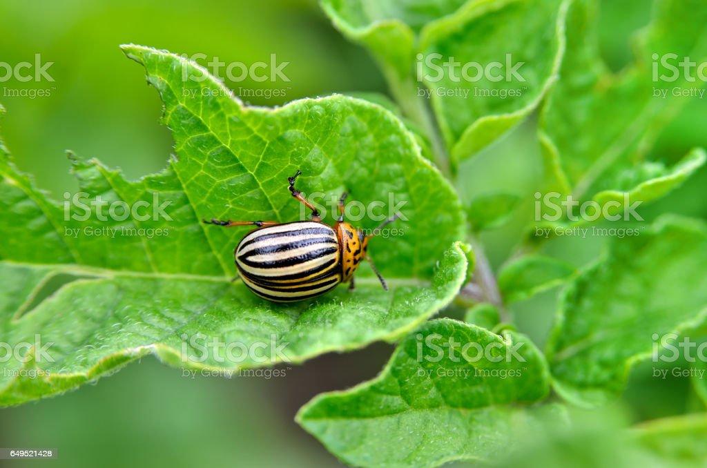 Colorado beetle eats a potato leaves young. stock photo