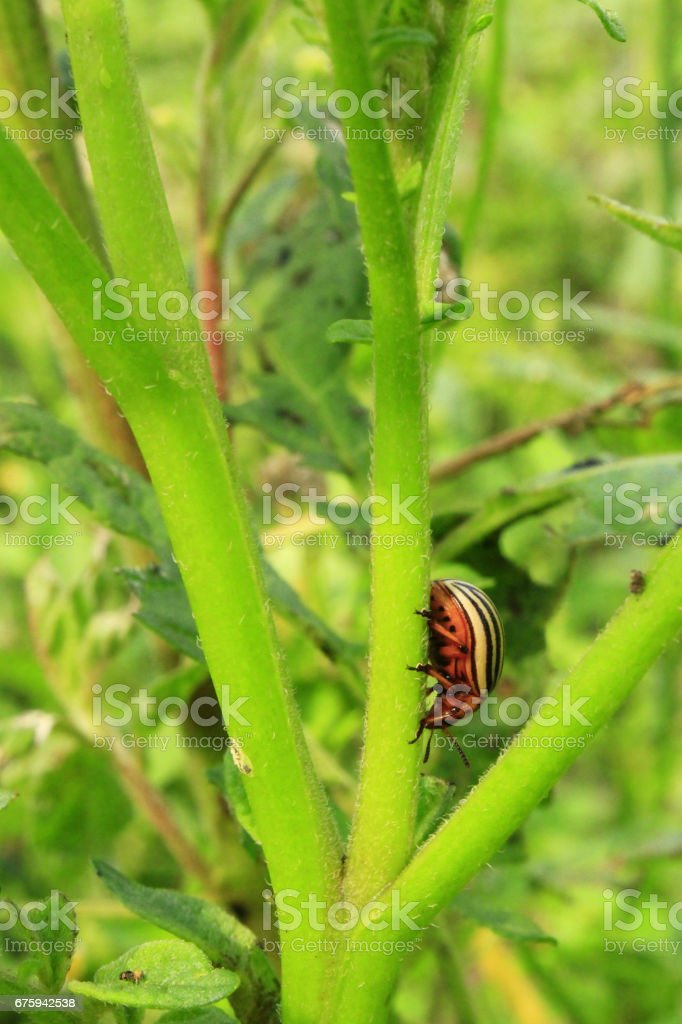 colorado beetle gobble up the leaves of potatoes stock photo