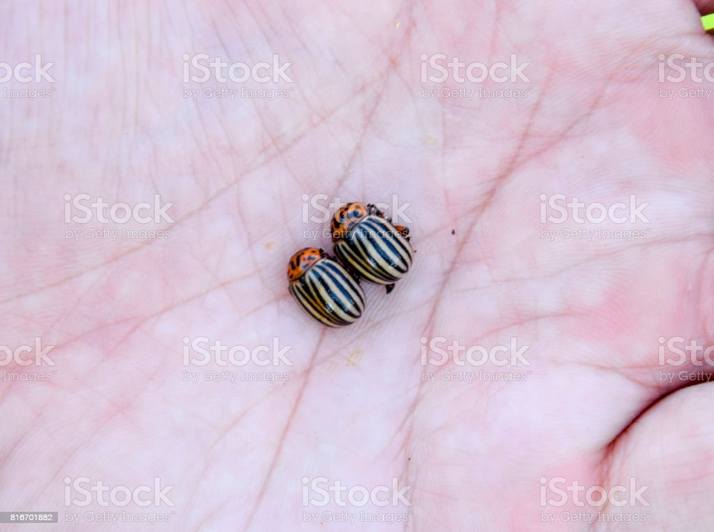 Colorado beetle in the palm of your hand. Adult striped Colorado stock photo
